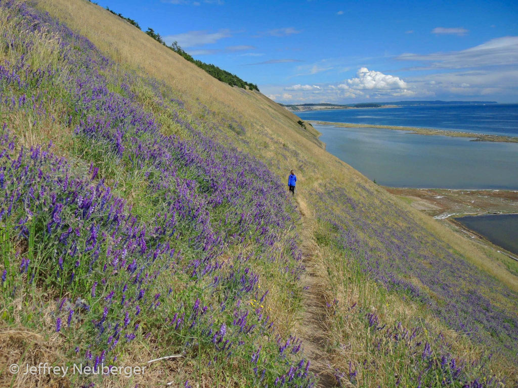 Wild Sweet Pea Lupine at Ebey's Landing by Jeffrey Neuberger