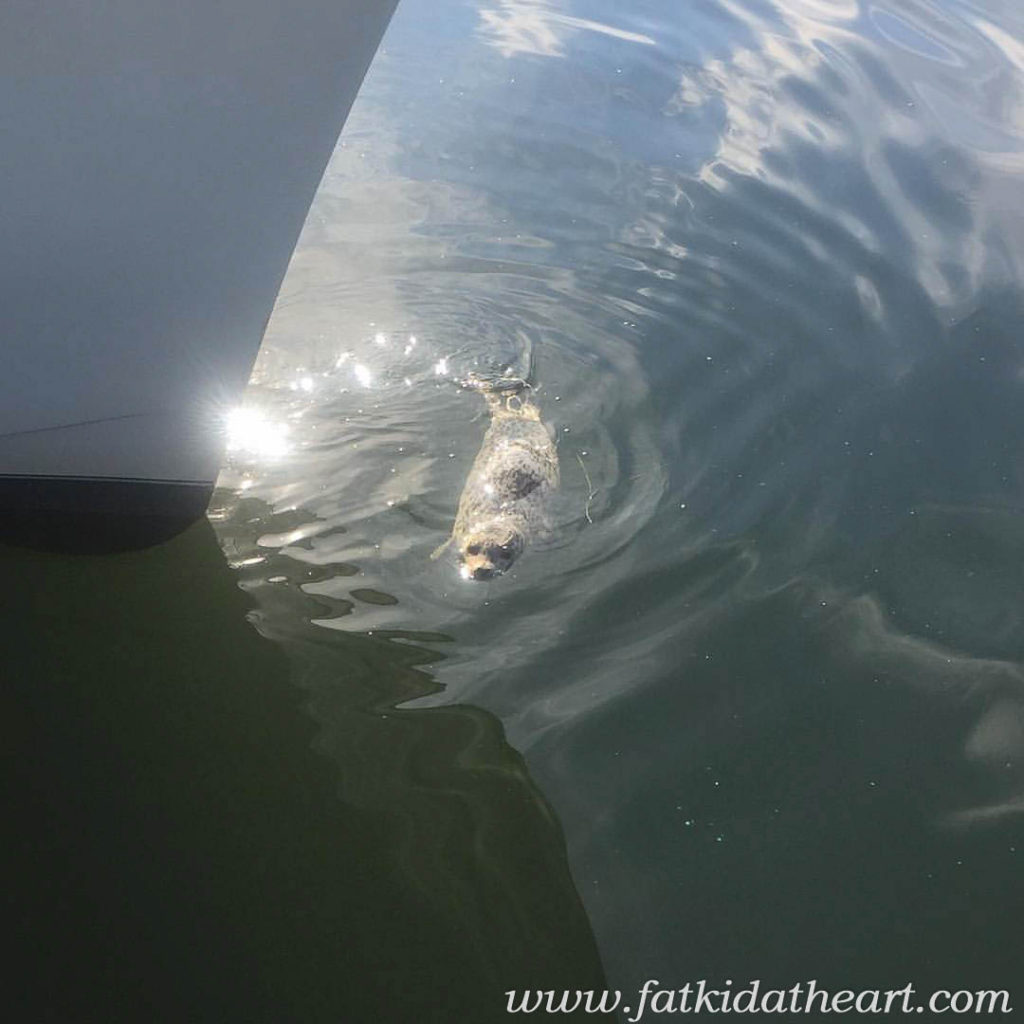 Kevin the Harbor Seal in Coupeville Washington by Fatkidatheart.com